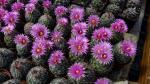 Když kvetou Coryphanthy, nastává podzim, alespoň ten kaktusářův.