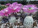 Reichenbachii albispinus v květu