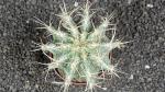 Chimera Astrophytum caputmedusae a Ferocactus