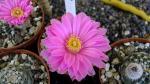 Echinocereus pulchelus -dospívající rostliny, které začínají kvést