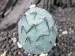 5e56 Tephrocactus geometricus