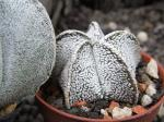 8i13 Astrophytum SuperCoahuilense (coahuilense snow)