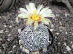 1b2 Astrophytum SuperKabuto hybrid