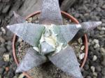3d12 Ariocarpus retusus SB68
