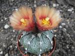 2c48 Astrophytum hybrid A+ flower, x capricorne