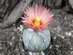 2c17 Astrophytum hybrid A/B flower