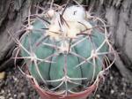 4e40 Echinocactus horizonthalonius