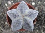 4e48 Astrophytum Onzuko