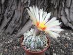 2c38 Astrophytum hybrid B flower