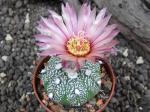 3d6 Astrophytum hybrid A/B flower