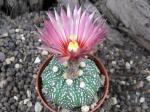 3d49 Astrophytum hybrid A+ flower