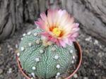 2c21 Astrophytum hybrid B flower
