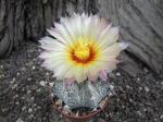 3d5 Astrophytum hybrid B flower