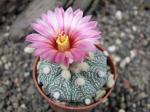 6h33 Astrophytum hybrid A flower