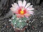 6h34 Astrophytum hybrid A/B flower