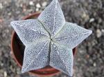 5g31 Astrophytum Onzuko
