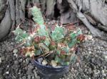 6h30 Tephrocactus rossianus