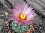 7i1 Astrophytum hybrid A flower
