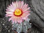 7i53 Astrophytum hybrid A flower